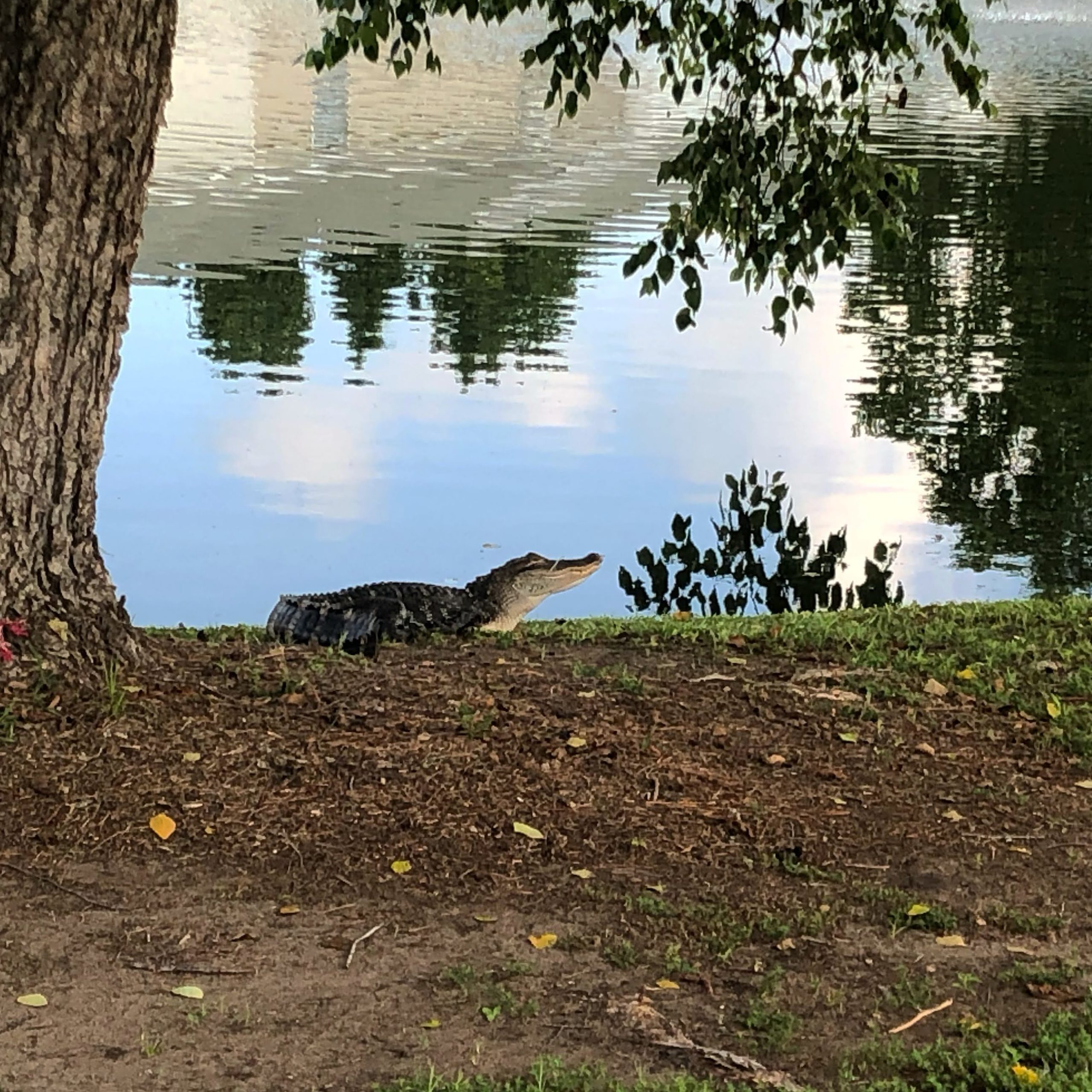 My Alligator Was Kidnapped. Now What?   Life Updates